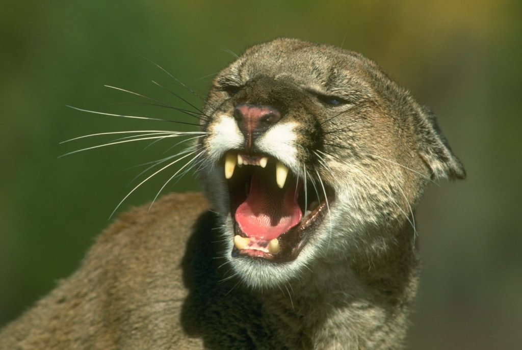 mountain-lion-teeth1