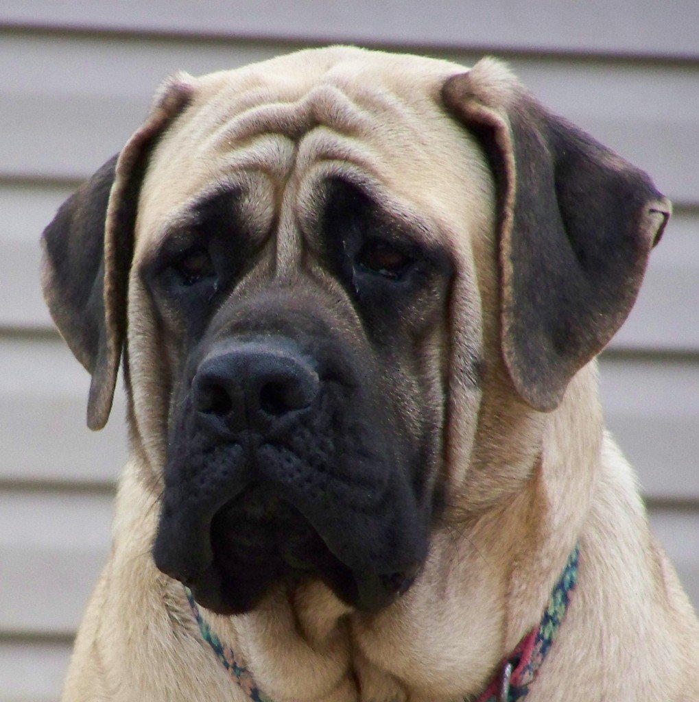 sad-english-mastiff-photo