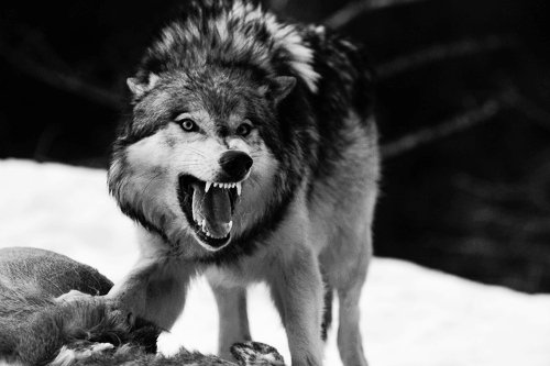 snarling_wolf_in_black_and_white
